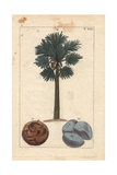 Asian Palmyra, Toddy Palm or Sugar Palm Tree, Borassus Flabellifer Giclee Print
