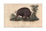 Wild BoarSus Scrofa Giclee Print