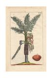 Sago Palm Tree, Metroxylon Sagu Giclee Print