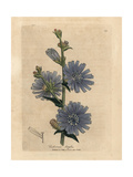 Blue Flowered Wild Succory or Chicory, Cichorium Intybus Giclée-tryk af James Sowerby