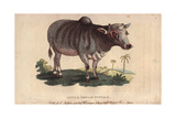 Little Indian Buffalo Bos Indicus Giclee Print