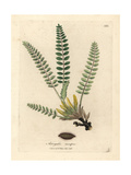 Stemless Milkvetch Giclee Print by James Sowerby