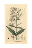 Nottingham Catchfly, Silene Nutans Giclee Print by James Sowerby