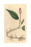 Amphibious Persicaria, Polygonum Amphibium Giclee Print by James Sowerby