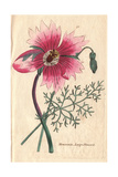 Large-Flowered Monsonia, Monsonia Speciosa Giclee Print
