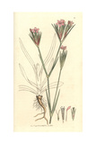 Deptford Pink, Dianthus Armeria Giclee Print by James Sowerby