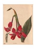 Canna IridifloraCanna Giclee Print