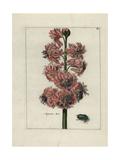 Augustus Rex Hyacinth Giclee Print