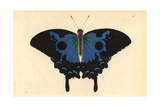 Ulysses Butterfly, Papilio Ulysses Giclee Print