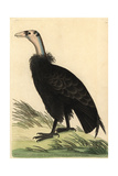 California Condor, Gymnogyps Californianus Critically Endangered Giclee Print
