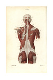Muscles of the Back and Torso Giclee Print