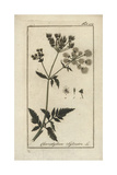 Cow Parsley Giclee Print