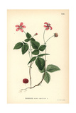 Arctic Raspberry, Rubus Arcticus Giclee Print