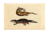 Great Crested Newt, Triturus Cristatus Critically Endangered Giclee Print