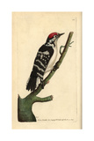 Lesser Spotted Woodpecker, Dendrocopos Minor Giclee Print