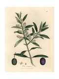 White Flowered European Olive Tree with Fruit, Olea Europaea Giclee Print by James Sowerby