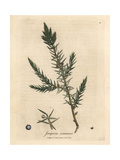 Branch and Berries of Common Juniper, Juniperus Communis Giclee Print by James Sowerby