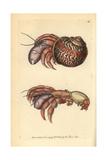 Hermit Crab, Petrochirus Diogenes Giclee Print