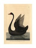 Black Swan, Cygnus Stratus Giclee Print