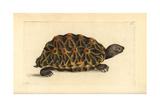 Geometric Tortoise, Psammobates Geometrica Endangered Giclee Print