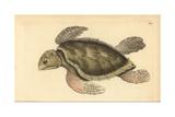 Hawksbill Sea Turtle, Eretmochelys Imbricata, Critically Endangered Giclee Print