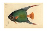 Queen Angelfish, Holacanthus Ciliaris Giclee Print