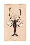 Large Shiny Blue-Black and Crimson Crawfish or Crayfish (Palemon Ornatum) Giclée-tryk