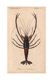Large Shiny Blue-Black and Crimson Crawfish or Crayfish (Palemon Ornatum) Wydruk giclee