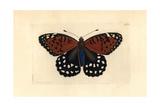 Regal Fritillary Butterfly, Speyeria Idalia Giclee Print by Richard Polydore Nodder