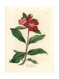 Scarlet Flowered Pomegranate Tree, Punica Granatum Giclee Print by James Sowerby