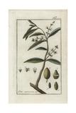 Olive Tree Giclee Print