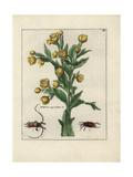 Stinking Hellebore, Helleborus Niger Foetidus Giclee Print