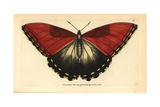 Sunset Morpho Butterfly, Morpho Hecuba Giclee Print