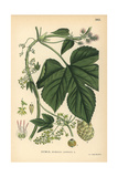Hops, Humulus Lupulus Giclee Print