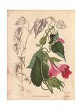 Lophospermum Scandens, Climbing Lophospermum with Pink and Purplish Flowers Giclee Print