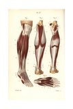 Muscles and Tendons of the Leg and Foot Stampa giclée