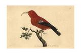 Scarlet Hawaiian Honeycreeper, Vestiaria Coccinea (Vulnerable) Giclee Print