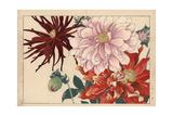 Dahlia Varieties Giclee Print