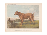 Irish Terrier - Champion Sporter Giclee Print