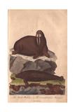 Walrus and Manati Odobenus Rosmarus and Trichechus Manatus Giclee Print