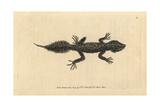Broad-Tailed Gecko, Phyllurus Platurus(Broad-Tailed Lizard, Lacerta Platura) Giclee Print
