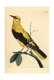 Golden Oriole, Oriolus Oriolus Reproduction procédé giclée