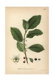 Alder Buckthorn, Rhamnus Frangula Reproduction procédé giclée