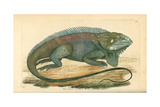 Common or Green Iguana, Iguana Iguana Giclee Print
