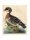 American Wood Duck, Aix Sponsa Giclee Print by Richard Polydore Nodder