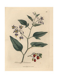 Woody Nightshade Giclee Print by James Sowerby