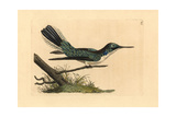 Black-Eared Fairy Hummingbird, Heliothryx Aurita Reproduction procédé giclée par Richard Polydore Nodder