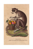 Mongooz or Mongoose with a Basket of Ripe FruitEulemur Mongoz Giclee Print