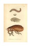 Human Flea, Pulex Irritans Giclee Print
