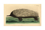 Short-Beaked Echidna, Tachyglossus Aculeatus Giclee Print